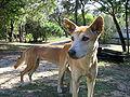 Dingoes Fraser Island2.jpg