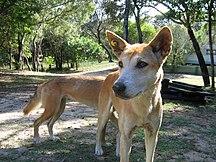 Fraser Island-Dingoes-Dingoes Fraser Island2