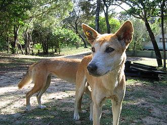 Fraser Island - Fraser Island dingoes
