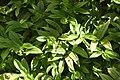 Disporopsis omeiensis in Christchurch Botanic Gardens 02.jpg