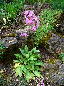 Dodecatheon meadia 01.JPG
