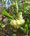 Dodonaea viscosa var angustifolia, vrugte, a, Waterberg.jpg