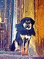 Dog at Drepung Monastery. Lhasa, Tibet -DSCN5627.jpg