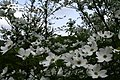 Dogwood-tree-sky-flowers - West Virginia - ForestWander.jpg