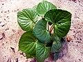 Dollarweed(Hydrocotyle umbellata)2009.JPG