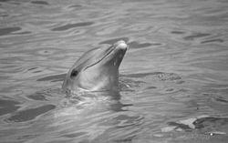 meurtre de masse par les lignes electrique éta d urgence en europe 250px-Dolphin-_Bottlenose%2C_NPSPhoto%2C_2001_%282%29_%289257850196%29