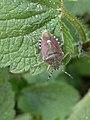 Dolycoris baccarum 121594069.jpg