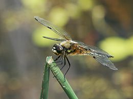 Dragonfly macro.jpg