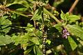 Dragonfly near Lamorna (7273).jpg