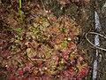 Drosera kaieteurensis (4).jpg
