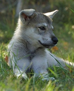 Tamaskan Dog - A Tamaskan puppy