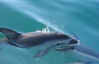 Dusky dolphin - Closeup of dusky dolphin surfacing