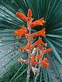 Dyckia remotiflora HRM3.JPG