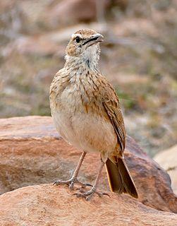 Eastern long-billed lark species of bird