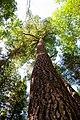 Eastern White Pine, Algonquin Provincial Park, Ontario (3902787254).jpg