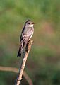 Eastern Wood-pewee.jpg