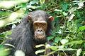 Eastern chimpanzee.jpg