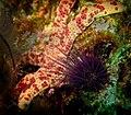 Echinostrephus sea urchin and starfish.jpg