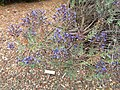 Echium gentianoides - University of California Botanical Garden - DSC08939.JPG