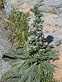 Echium italicum subsp biebersteinii.jpg