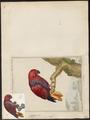 Eclectus roratus - 1700-1880 - Print - Iconographia Zoologica - Special Collections University of Amsterdam - UBA01 IZ18500245.tif