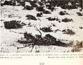 Ecology of the coyote in the Yellowstone (1940) (20962405609).jpg
