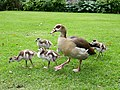 Egyptian Goose and Her Goslings in the Company Gardens, Cape Town (29813847197).jpg