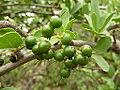 Ehretia rigida, groen vrugte, Zoutpan.jpg