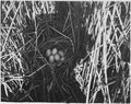 Eight eggs fill the nest of a canvasback duck in a stand of hardstem bullrush - NARA - 283810.tif