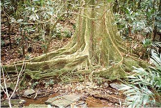 Elaeocarpus angustifolius - Blue quandong growing at Nightcap National Park, Australia