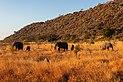 Elefantes africanos de sabana (Loxodonta africana), parque nacional Kruger, Sudáfrica, 2018-07-25, DD 09.jpg