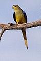 Elegant Parrot (Neophema elegans) (8079612251).jpg