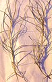 Eleogiton fluitans plant (07).jpg