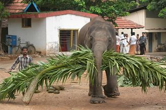 Elephants in Kerala culture - Mahout and his elephant Guruvayoor, Thrissur, Kerala