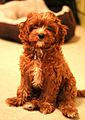 Ella the Cavapoo puppy.jpeg