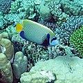 Emperor Angelfish, Pomacanthus imperator (38290163761).jpg