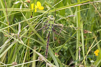 Emperor (dragonfly) - female Whitecross Green Wood, Oxfordshire