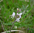Enchanter's-nightshade - Circaea lutetiana (1) (38527068055).jpg