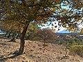 Encinos en la Sierra de Santa Rosa (Guanajuato).jpg