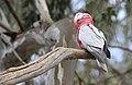 Eolophus roseicapilla -Flinders Ranges, South Australia-8 (1).jpg