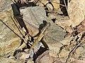 Epaulet skimmer (Orthetrum chrysostigma) 04.jpg