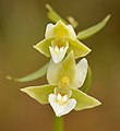 Epipactis palustris var. ochroleuca - Niitvälja2.jpg