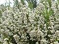Erica arborea 3 (Picos).jpg