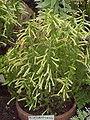 Erica bucciniiformis1.jpg