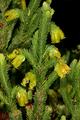 Erica foliacea var. foliacea 0403.png