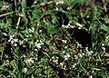 Erophila verna ssp verna eF.jpg