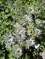 Eryngium alpinum 2.JPG