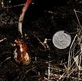 Erythronium sajanense IMG 3520.jpg