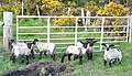 Escaped Lambs - geograph.org.uk - 1284454.jpg