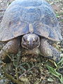 Espece de tortue vivant à oued hamimime prés d'Elkhroub à Constantine.jpg
